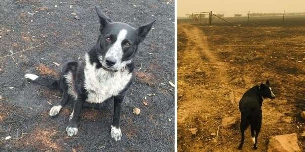 Sheepdog rescues hundreds of animals in Australian fire