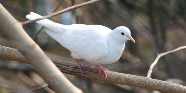 Why is the Holy Spirit represented by a dove?